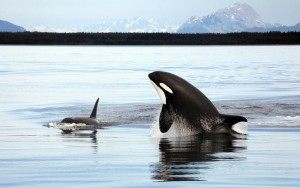 Orca Killer Whale gallery
