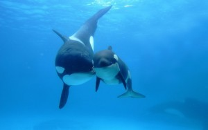 Orca Killer Whale backgrounds