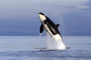 Orca Killer Whale jump pictures