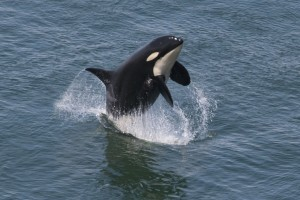 Orca Killer Whale ocean free download