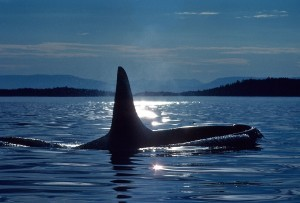 Orca Killer Whale sunset desktop HD