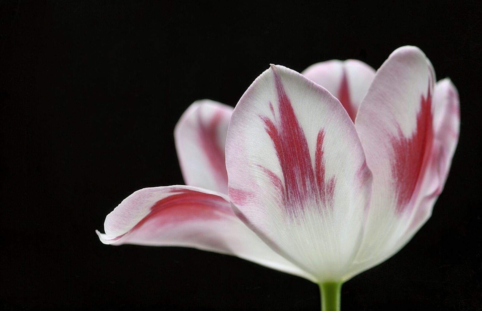 Tulip black theme High Quality wallpapers