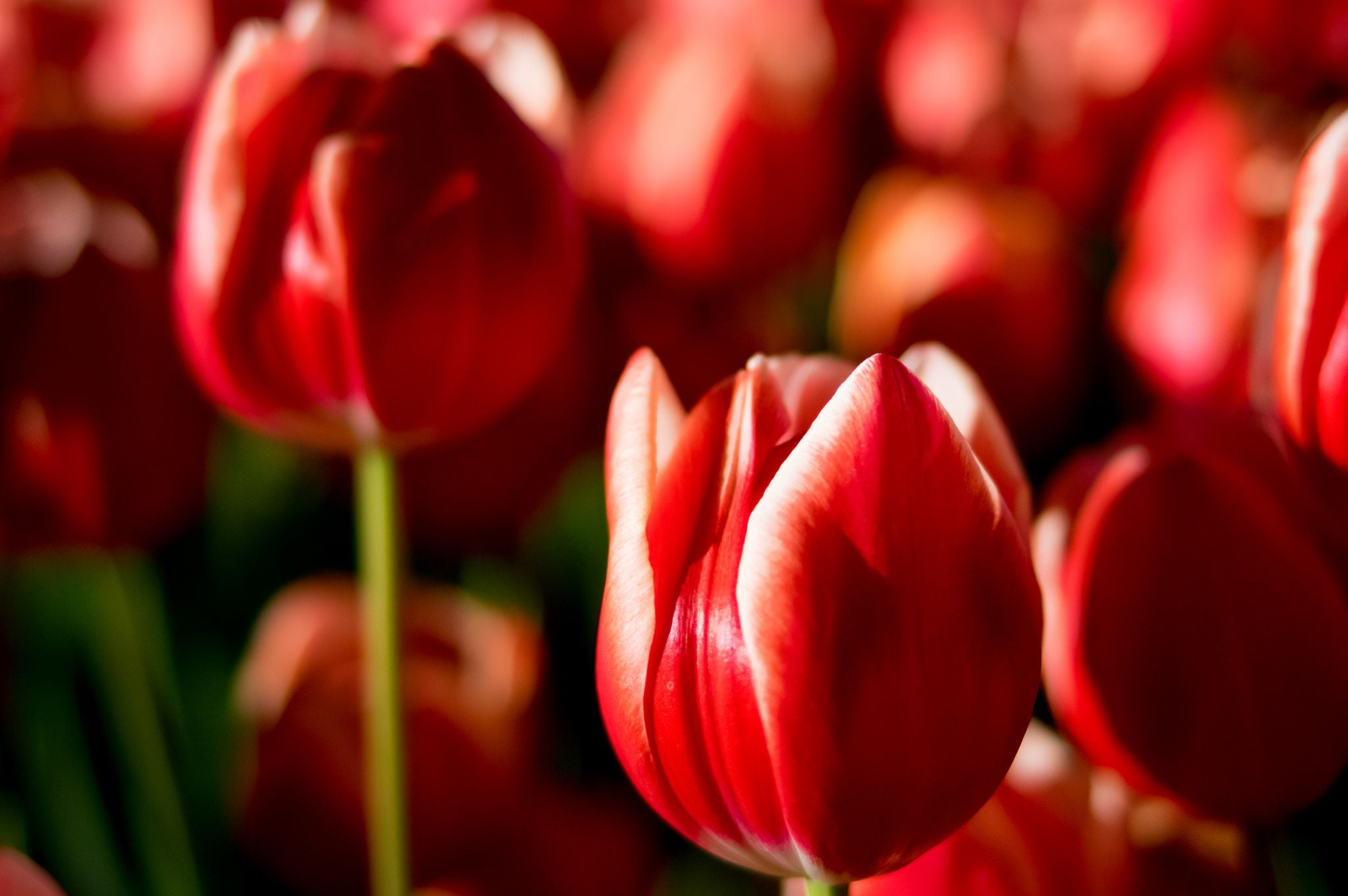 Tulips wallpaper 1080p