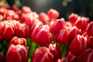 Tulips desktop HD