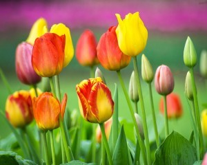 Wallpaper of Tulips