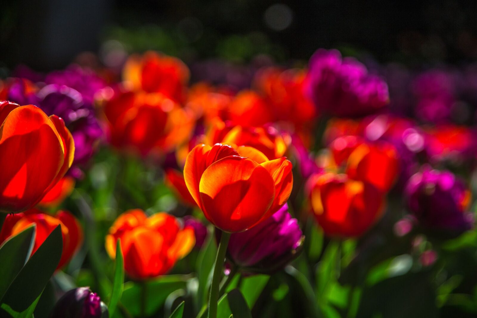 Best Tulips wallpapers backgrounds