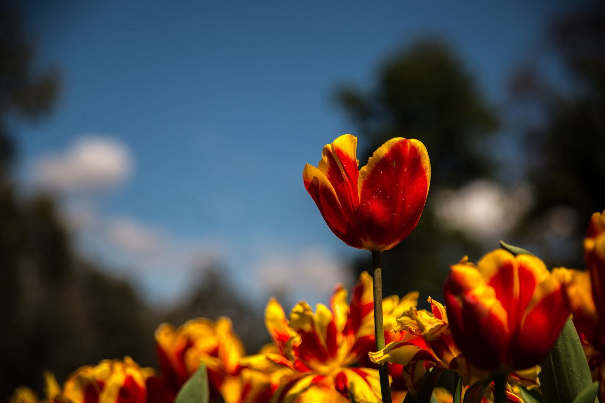 Tulips new wallpapers