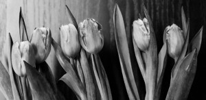 Tulips bw widescreen
