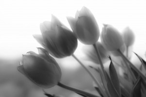 Pics of Tulips bw