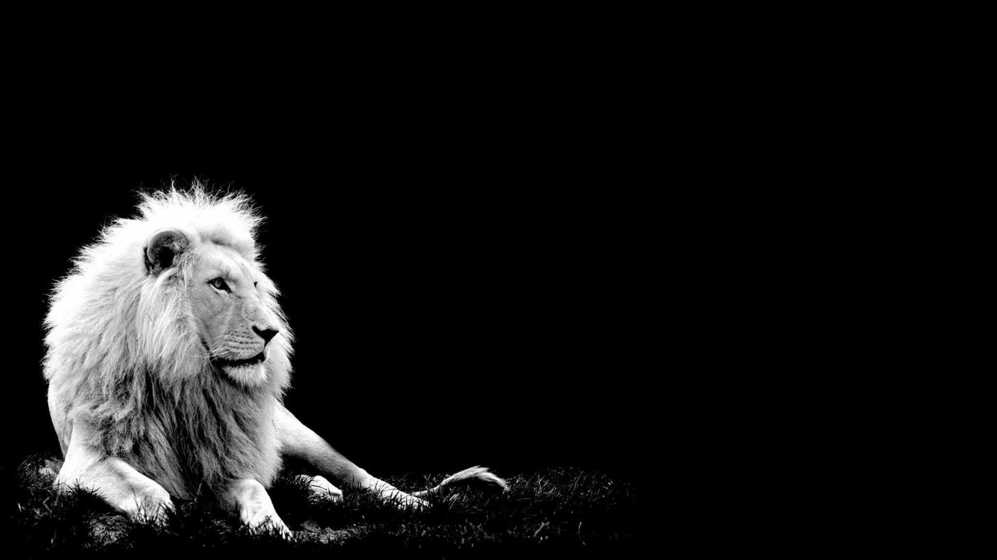 White lions wallpaper hd