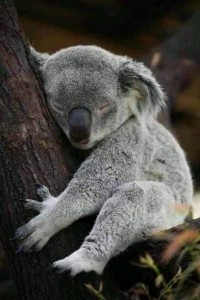 Amazing baby Koala Bear sleeping picture