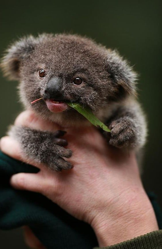 Cute Baby Koala Wallpaper Pics Photos - Koala Be...