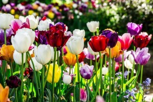 colors Tulips photo