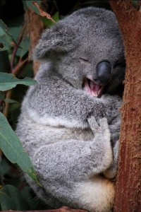 cool Koala Bear Android wallpaper