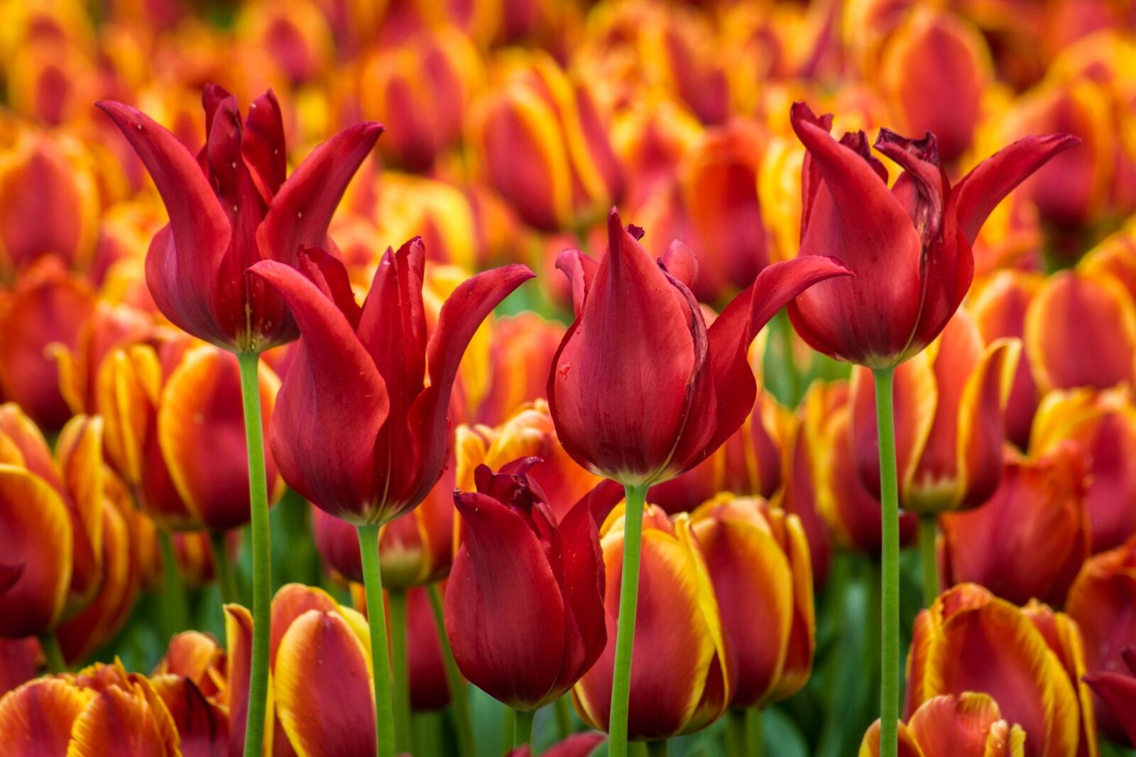 cool Tulips wallpaper download
