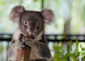 Amazing cute Koala Bear picture