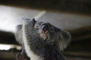 funny Koala Bear HD backgrounds