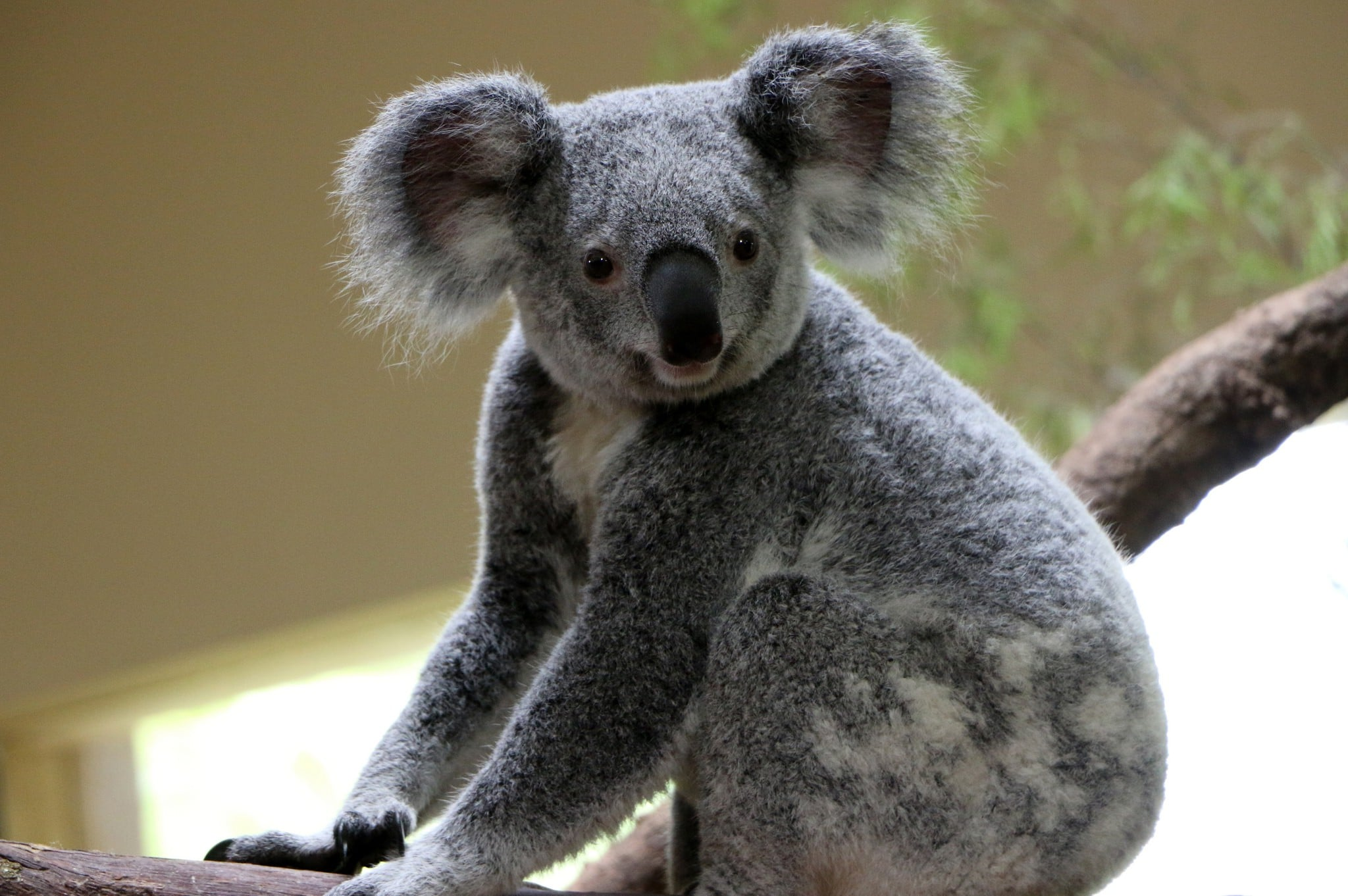 Koala Bear HD wallpapers