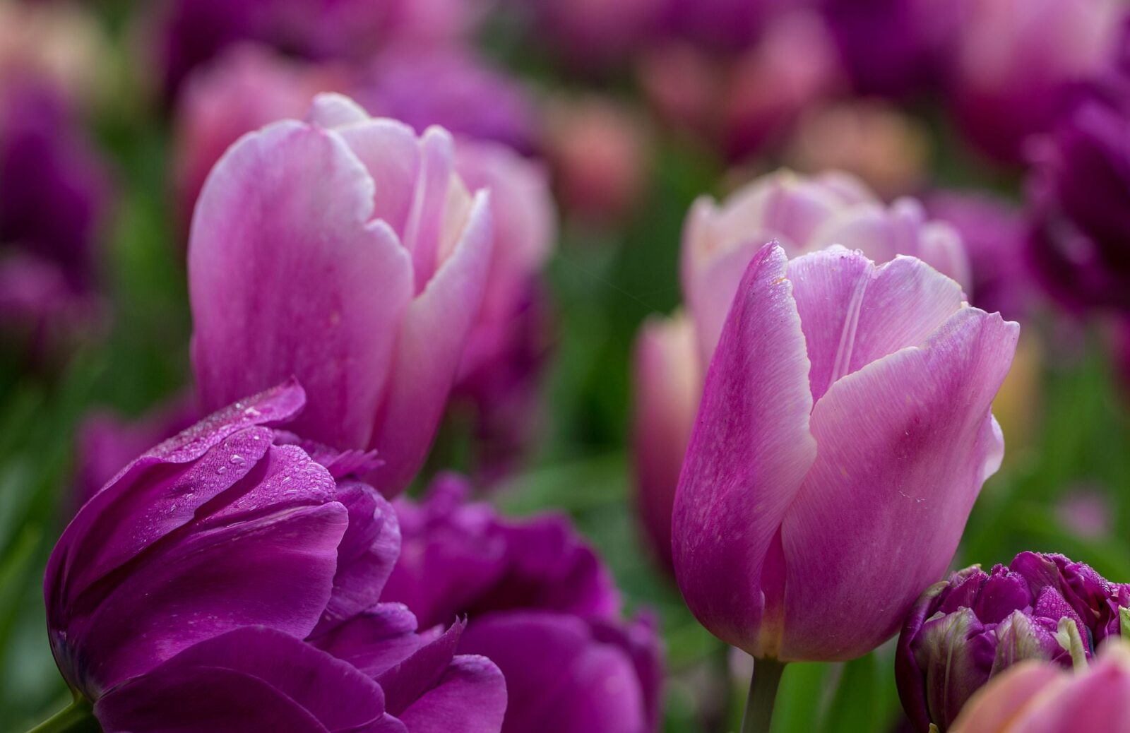 Image of pink Tulips