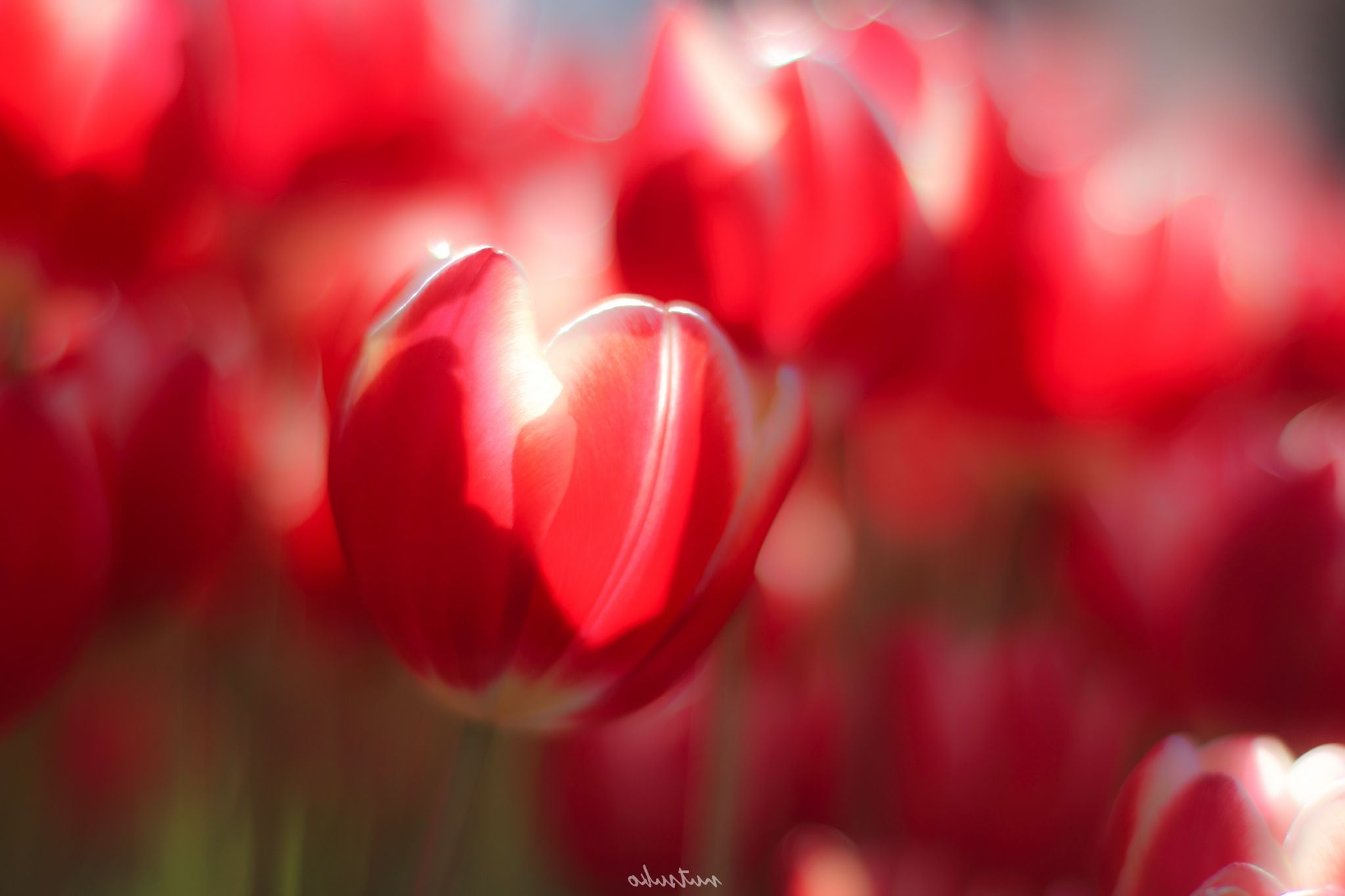 red Tulip HD pic for PC