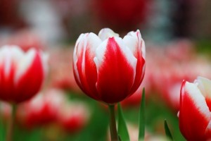 red Tulip wallpaper HD