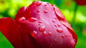 water drops tulip full HD image