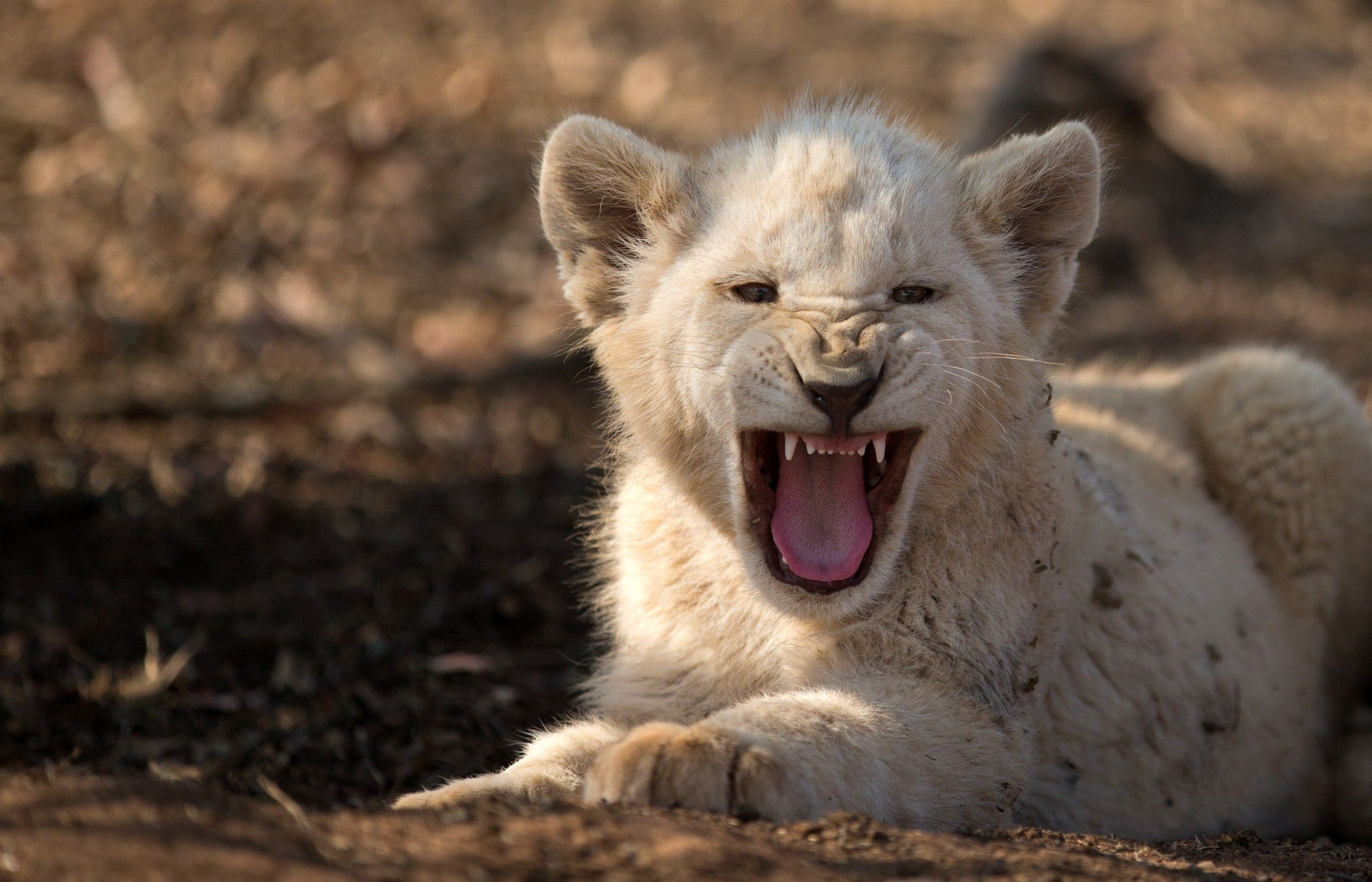 Pictures Of White Lions Roaring - impremedia.net