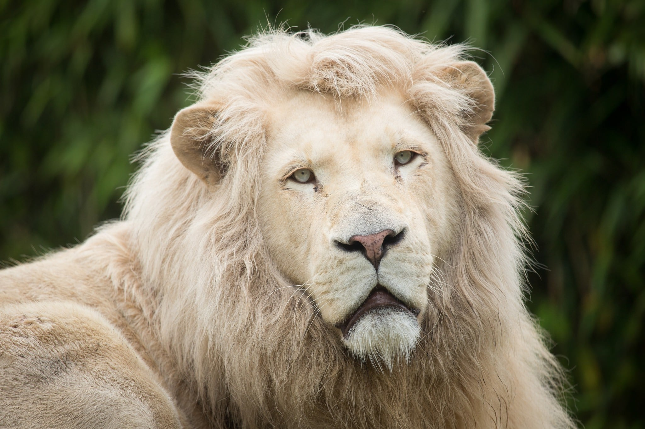 White Lion face wallpaper 1080p