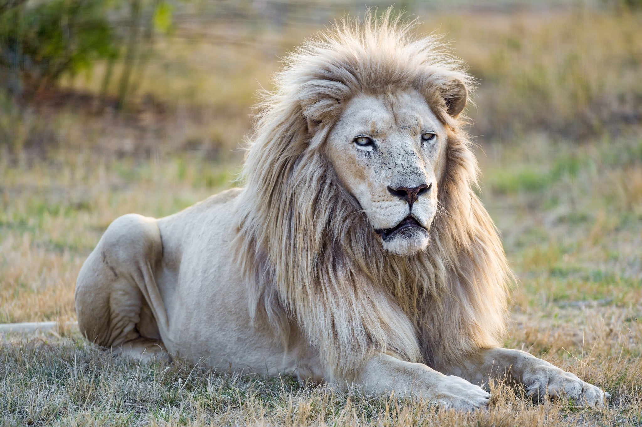 53 Majestic Lion Photos  Pexels  Free Stock Photos