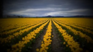 yellow Tulips field full HD image