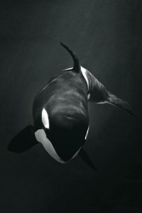 Best Orca Killer Whale for Android wallpapers backgrounds