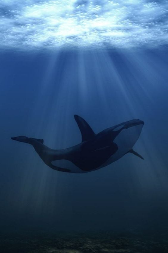 Orca Killer Whale for mobiles new wallpapers