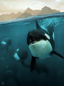 Orca Killer Whale iPhone widescreen