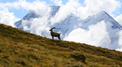 Grand Combin mountain goat