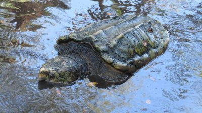large Alligator Snapping Turtle in water