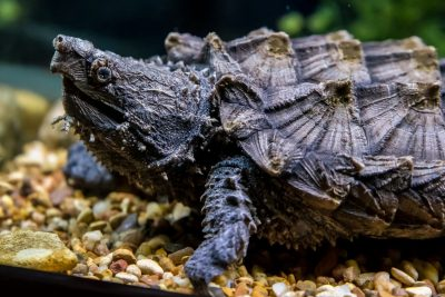 Alligator Snapping Turtle in high resolution