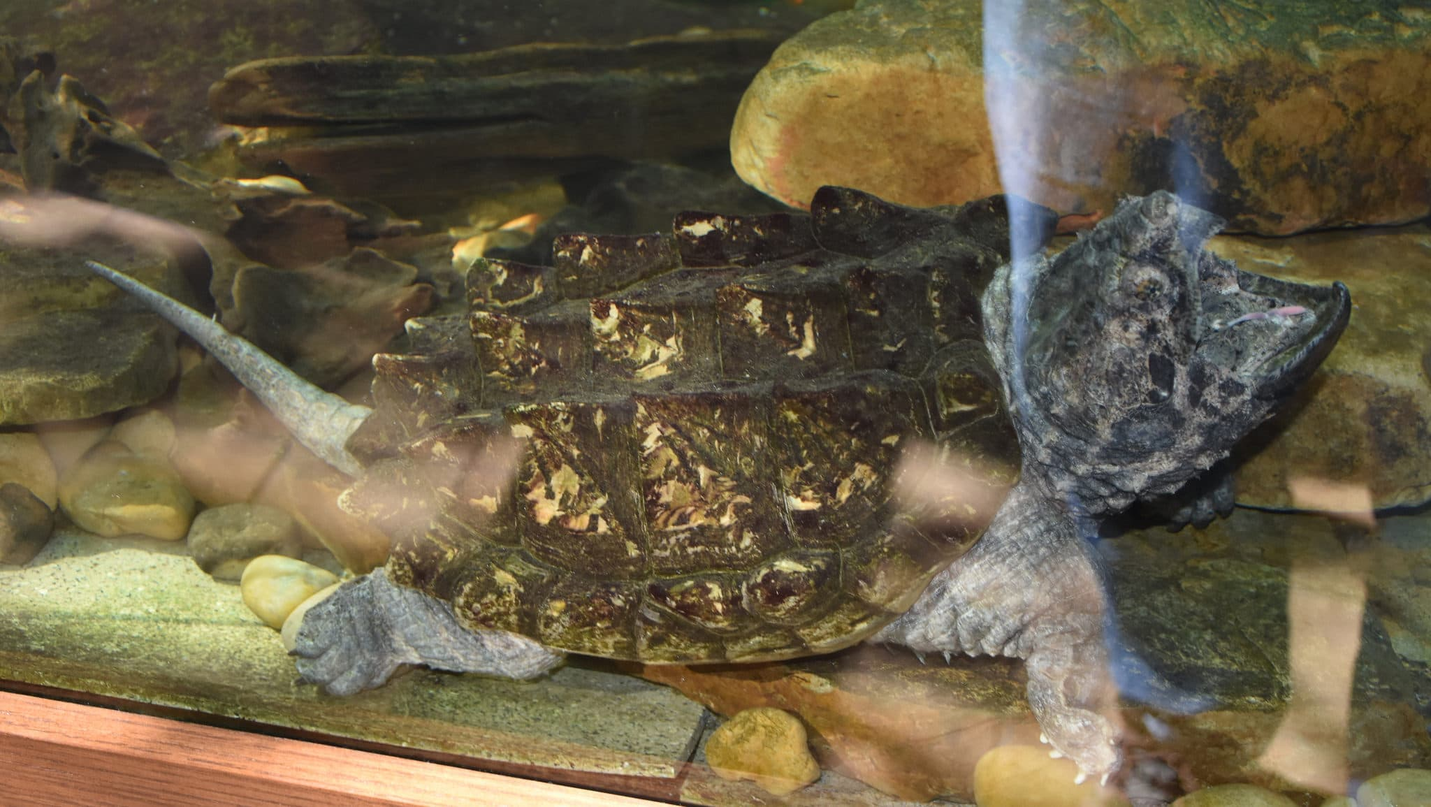 9+ Alligator Snapping Turtle wallpapers HD