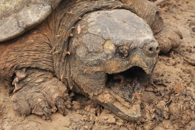 angry Alligator Snapping Turtle cool widescreen