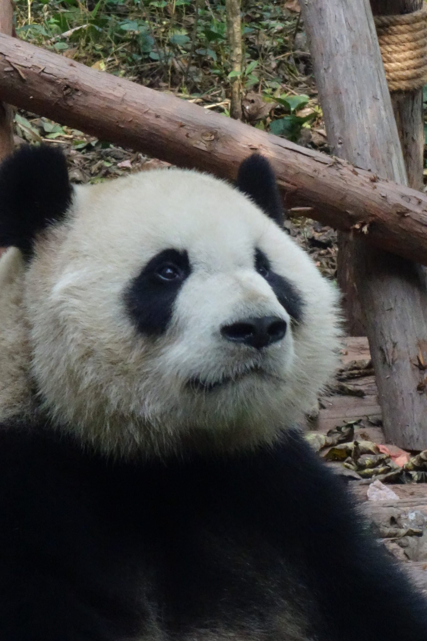 Giant panda / black and white cat-foot (14 images)