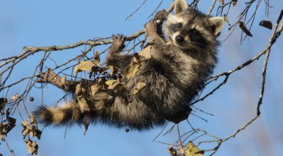 Funny young raccoon on a branch