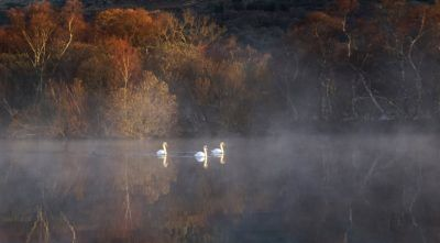 Swans on lake in fog