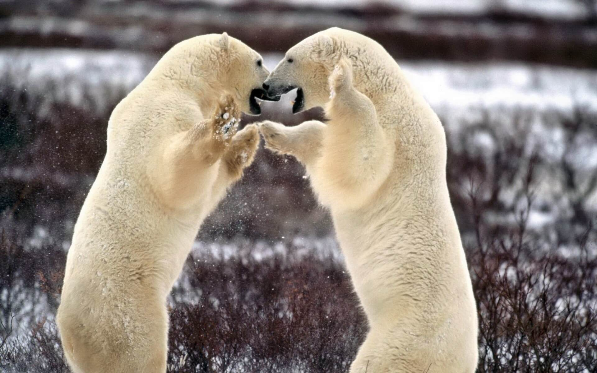 Battle of Polar Bears