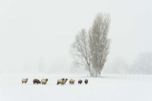 Sheep, winter in Holland