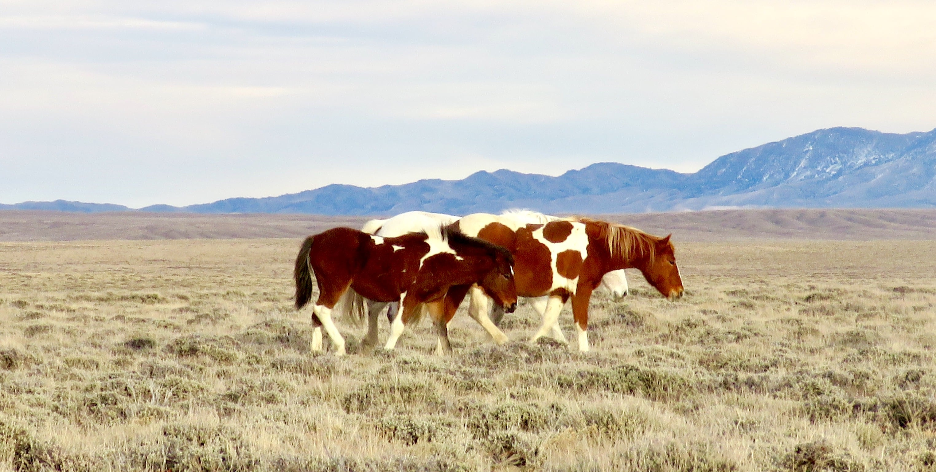 Three wild horses in the field