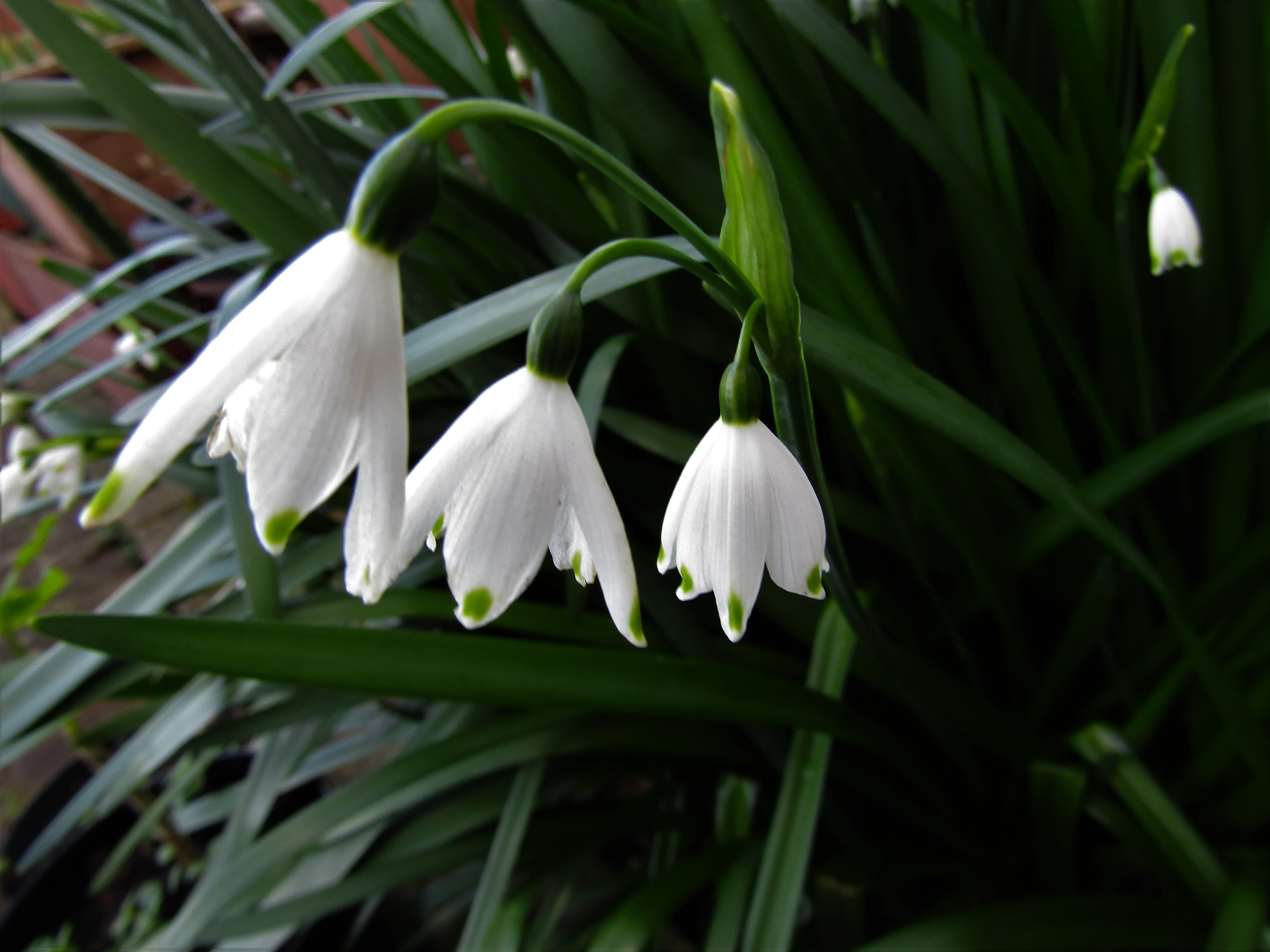 three Snowdrops