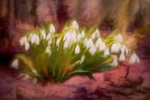 paint draw Snowdrops