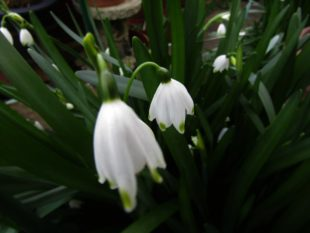 young Snowdrops