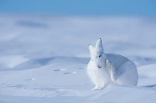 White hare on snow covered tundra