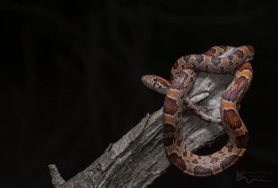 red snake with spots on black background