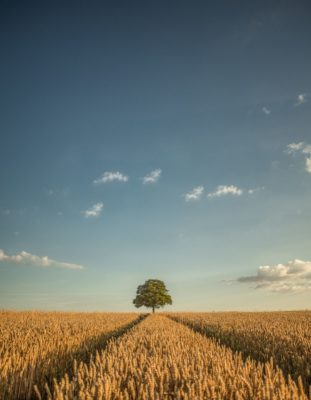 alone tree in a field